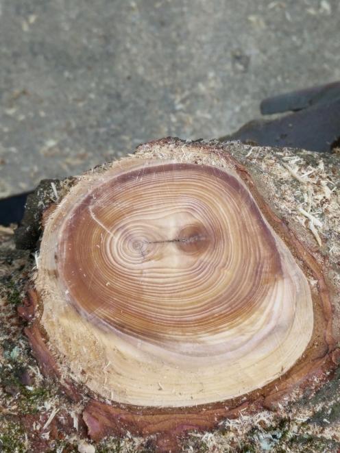 Pine age rings