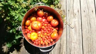 Tomato harvest 2016
