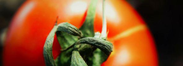 tomato_bkgd